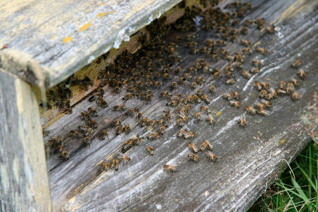 kaip vartoti bičių duoną sergant hipertenzija
